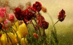 89 (1) - Tulips in raindrops